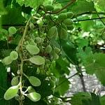 oidio-uva-de-mesa