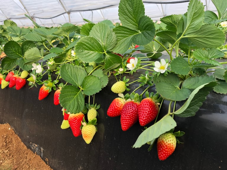 Biogard - Cómo combatir el oídio en fresa