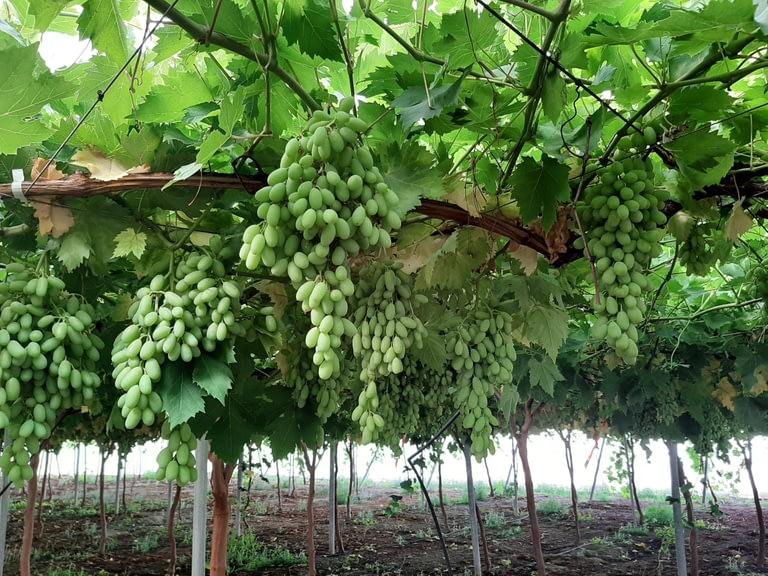 Biogard - ¿Plagas en uva de mesa o de vinificación? Combátelas con Naturalis®, insecticida – acaricida basado en Beauveria bassiana cepa ATCC 74040