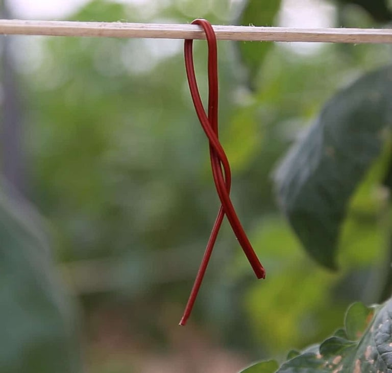 Biogard - Tuta absoluta en tomate, problemática y métodos de control mediante Isonet® T y Rapax® AS