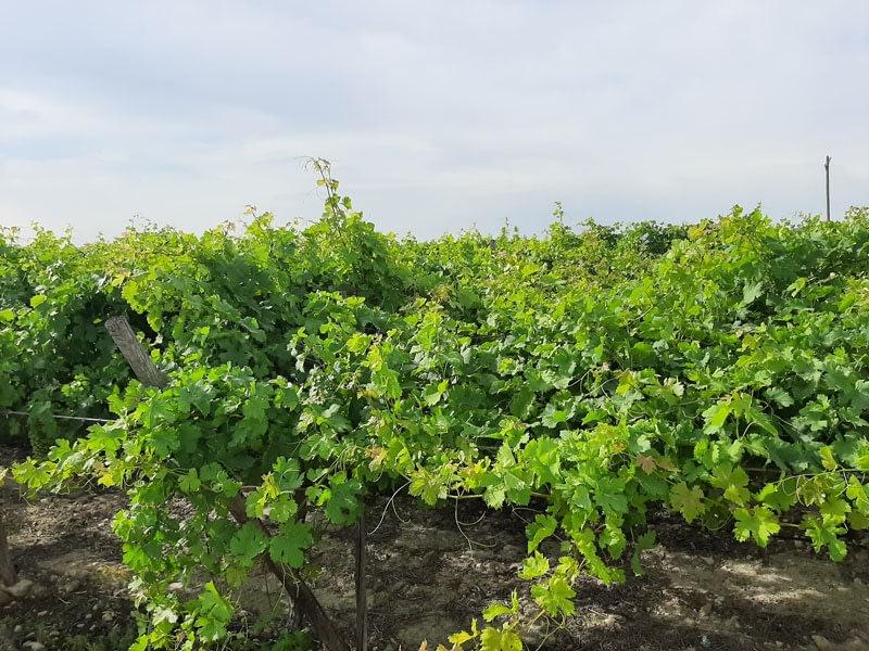 uva-de-mesa-oidio
